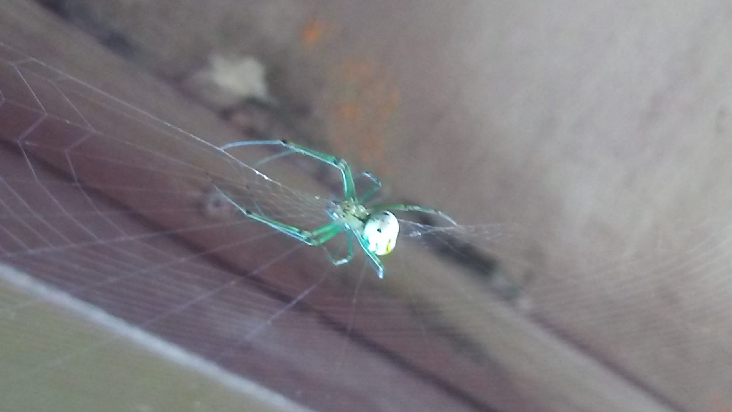 Picture of Leucauge venusta (Orchard Orb-weaver) - Webs