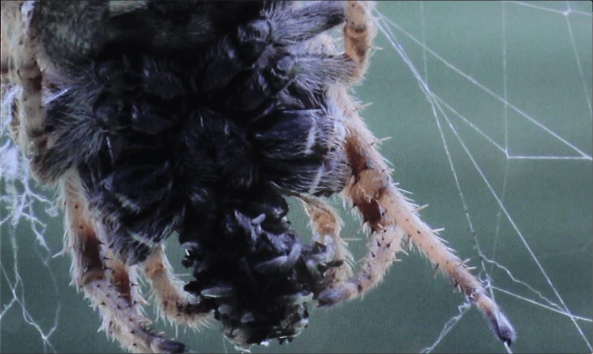 Picture of Eriophora pustulosa (Garden Orb-weaver Spider) - Ventral,Webs,Prey