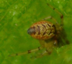 Picture of Anelosimus vittatus - Dorsal
