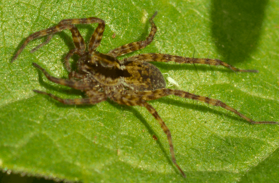 Picture of Pardosa (Thin-legged Wolf Spiders) - Lateral