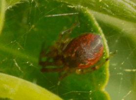 Picture of Anelosimus vittatus - Dorsal,Webs