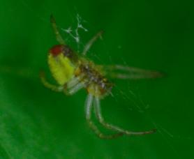 Picture of Araniella spp. - Lateral