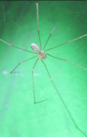 Picture of Pholcus spp. - Dorsal