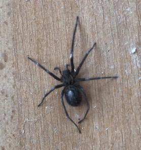 Picture of Eratigena spp. - Female - Dorsal
