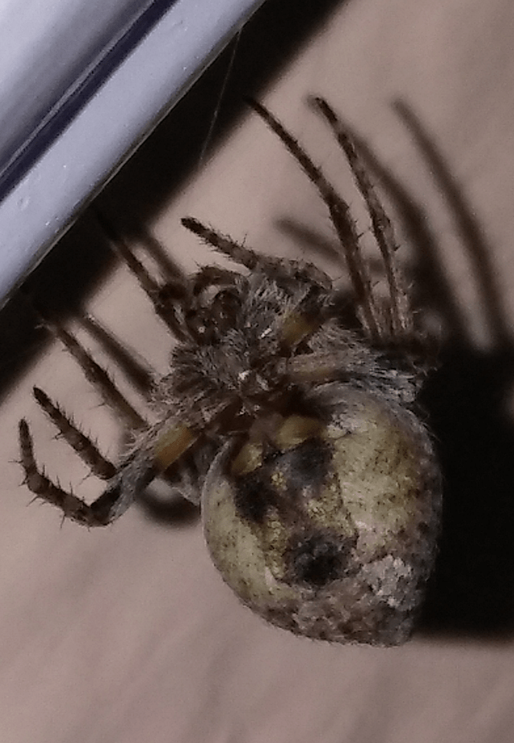 Picture of Eustala - Female - Ventral