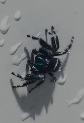 Picture of Phidippus spp. - Male - Eyes