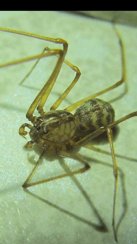 Picture of Scytodes - Male - Dorsal