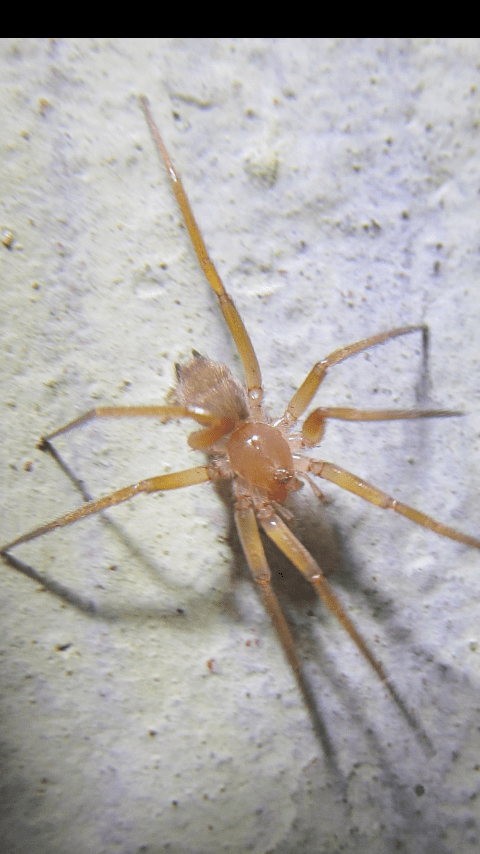 Picture of Prodidomidae (Long-spinneret Ground Spiders) - Dorsal