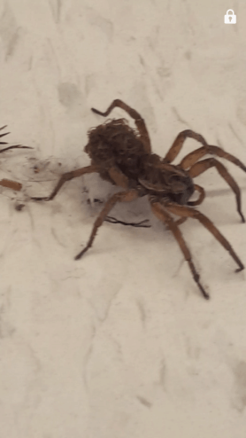 Picture of Hogna lenta - Female - Lateral,Spiderlings