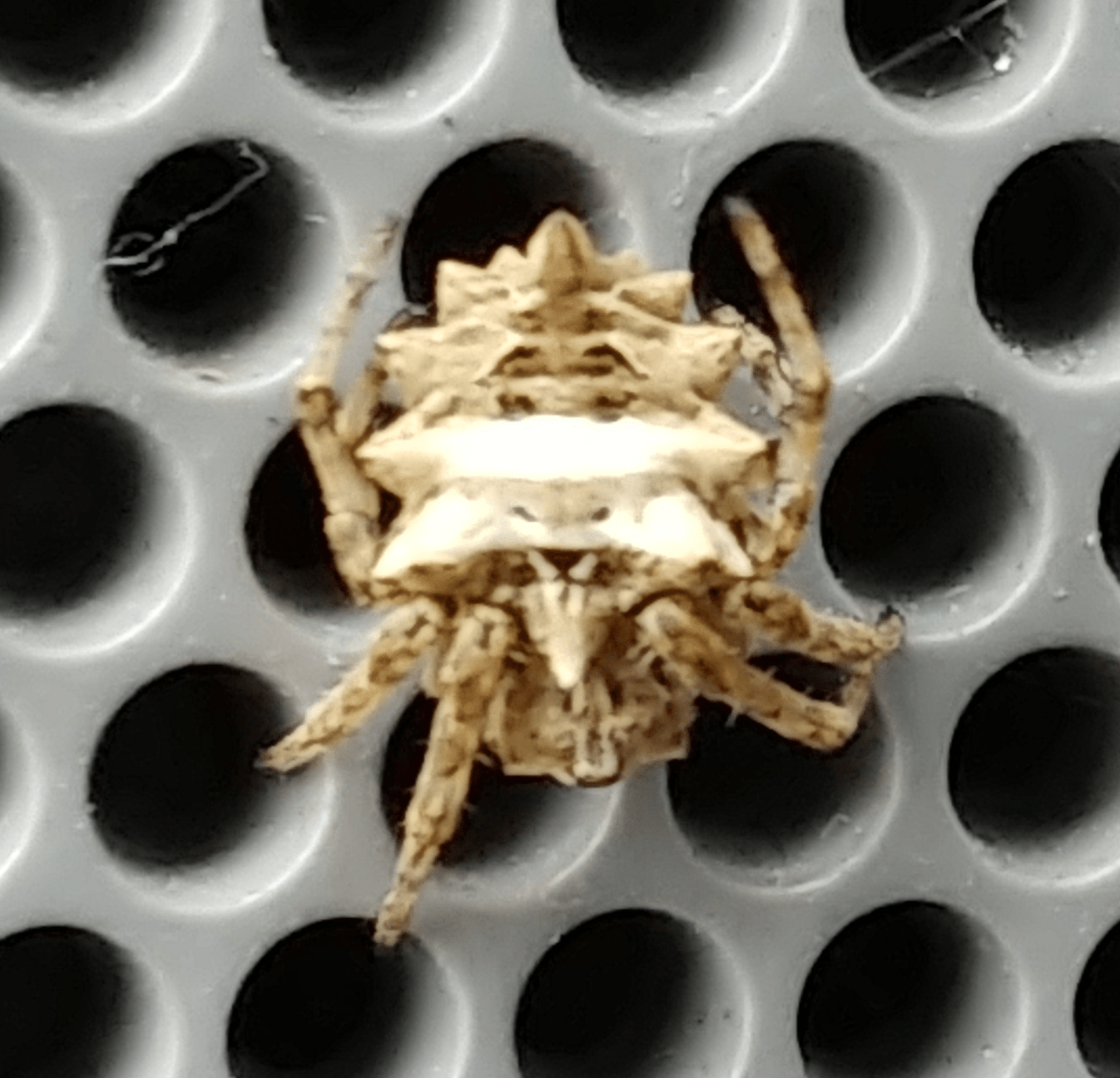 Picture of Acanthepeira stellata (Star-bellied Orb-weaver) - Dorsal