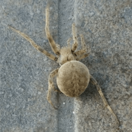 Featured spider picture of Neoscona nautica (Brown Sailor Spider)