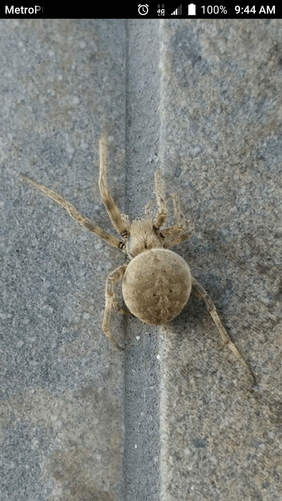 Picture of Neoscona (Spotted Orb-weavers) - Dorsal