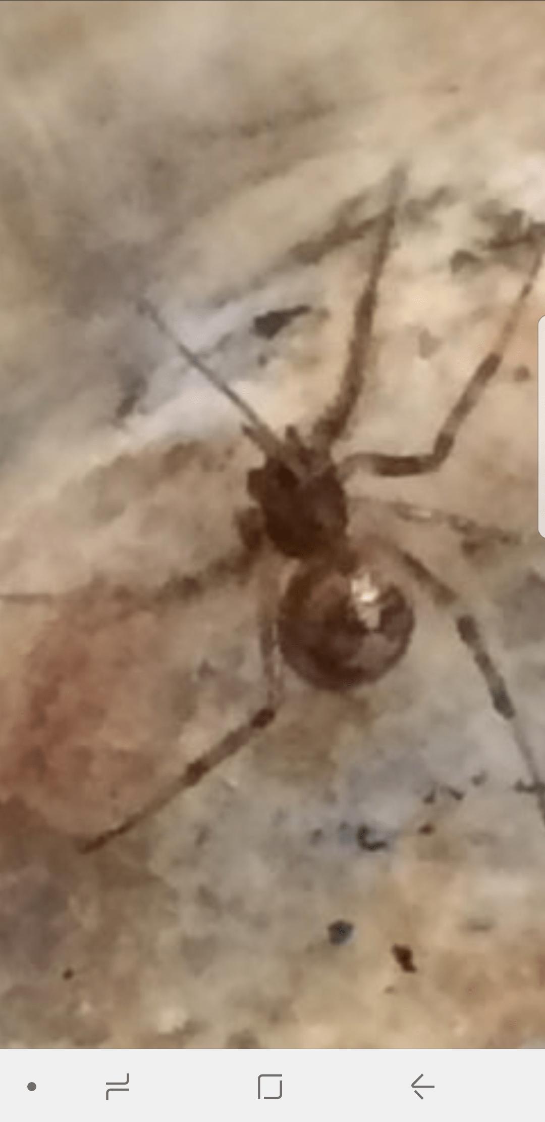 Picture of Steatoda triangulosa (Triangulate Cobweb Spider)