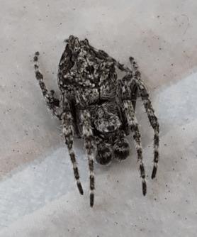 Picture of Eriophora pustulosa (Garden Orb-weaver Spider) - Male - Dorsal