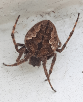 Picture of Eriophora pustulosa (Garden Orb-weaver Spider) - Female - Dorsal