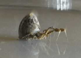 Picture of Uloboridae (Cribellate Orb-weavers) - Lateral