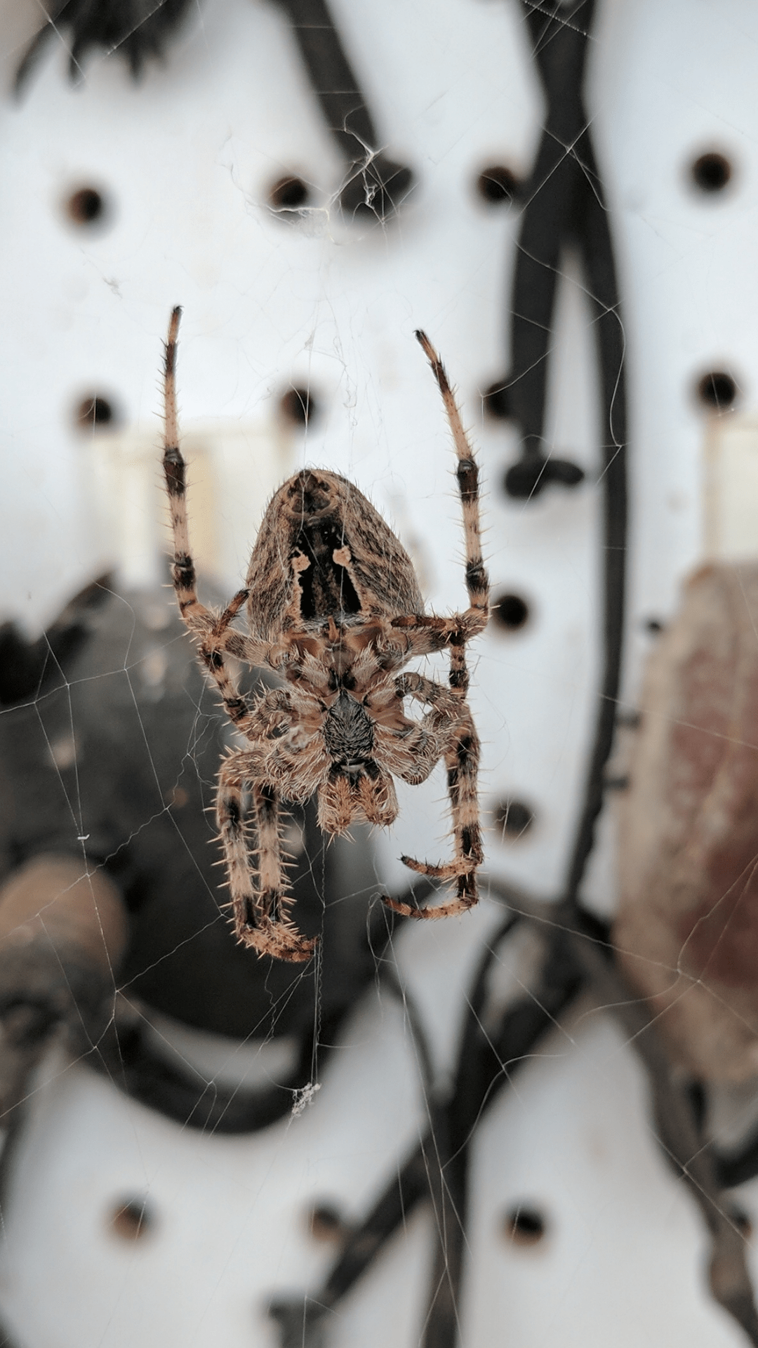Picture of Araneus diadematus (Cross Orb-weaver) - Female - Ventral,Webs