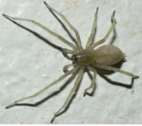 Picture of Cheiracanthium mildei (Long-legged Sac Spider) - Male - Dorsal,Penultimate