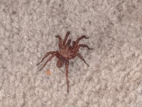 Picture of Myrmekiaphila spp. (Wafer-lid Trapdoor Spiders) - Male - Dorsal