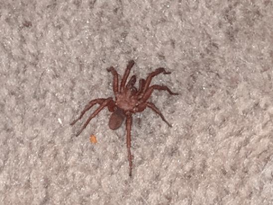 Picture of Myrmekiaphila (Wafer-lid Trapdoor Spiders) - Male - Dorsal