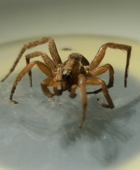 Picture of Lycosidae (Wolf Spiders) - Male - Eyes