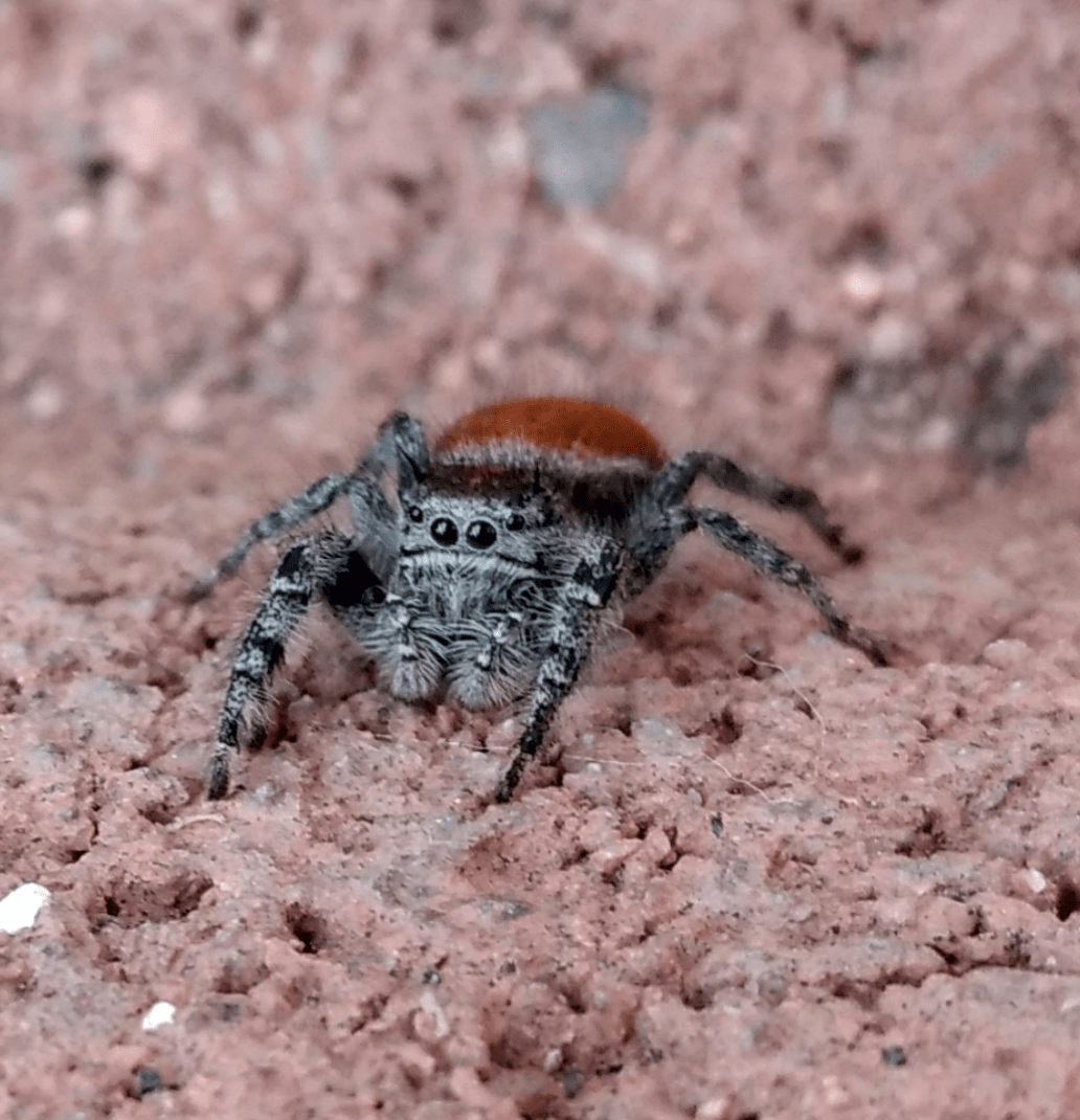 Picture of Phidippus adumbratus - Eyes