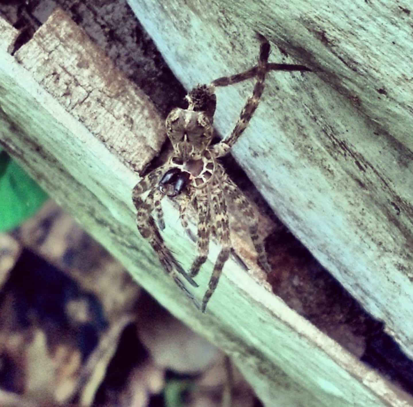 Picture of Dolomedes tenebrosus (Dark Fishing Spider) - Exuviae