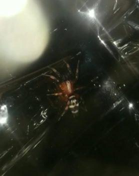 Picture of Sergiolus capulatus - Dorsal