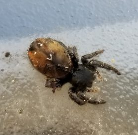 Picture of Phidippus johnsoni (Johnson Jumping Spider) - Dorsal