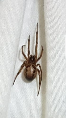 Picture of Steatoda nobilis (Noble False Widow) - Dorsal