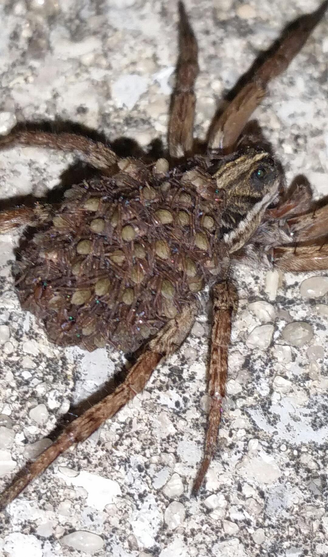 Picture of Tigrosa annexa - Female - Dorsal,Spiderlings