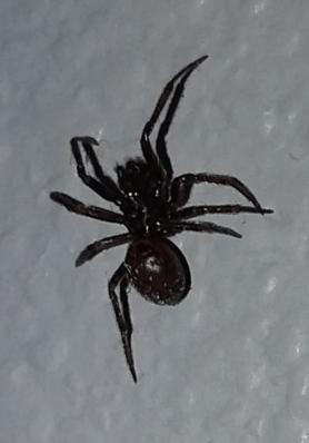 Picture of Steatoda borealis - Male - Dorsal