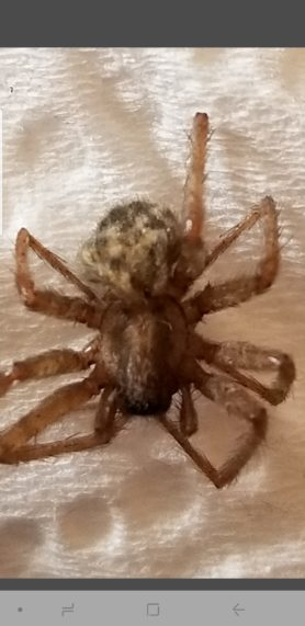 Picture of Tegenaria domestica (Barn Funnel Weaver) - Dorsal