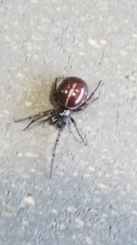 Picture of Steatoda borealis - Male - Dorsal,Penultimate