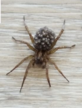 Picture of Trochosa ruricola - Female - Dorsal,Spiderlings