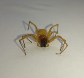 Picture of Cheiracanthiidae (Prowling Spiders)