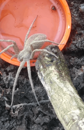 Picture of Pisaurina mira (Nursery Web Spider) - Lateral
