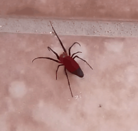 Picture of Alcimosphenus licinus (Dominican Spider) - Dorsal