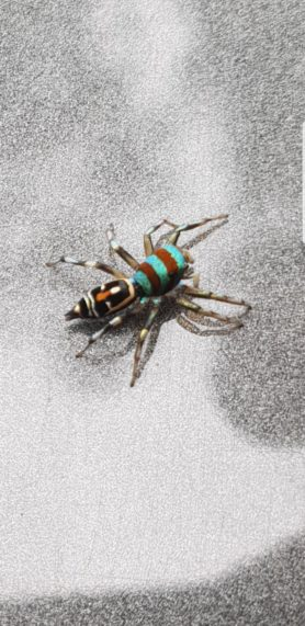 Picture of Cosmophasis spp. - Dorsal