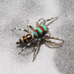 Featured spider picture of Cosmophasis micarioides (Grainy Cosmophasis)