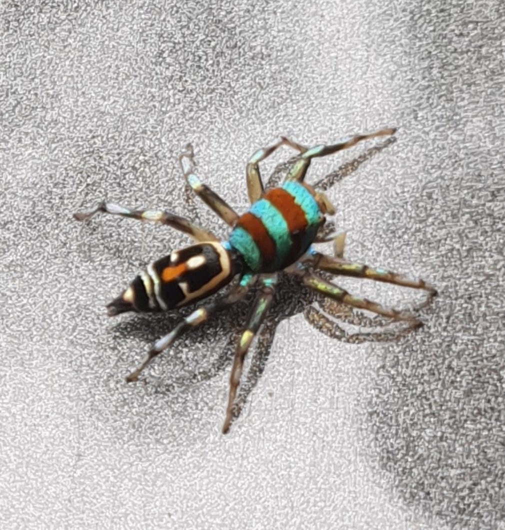 Picture of Cosmophasis micarioides (Grainy Cosmophasis) - Dorsal
