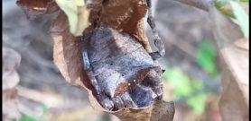 Picture of Parawixia dehaani (Abandoned-web Orb-weaver) - Dorsal