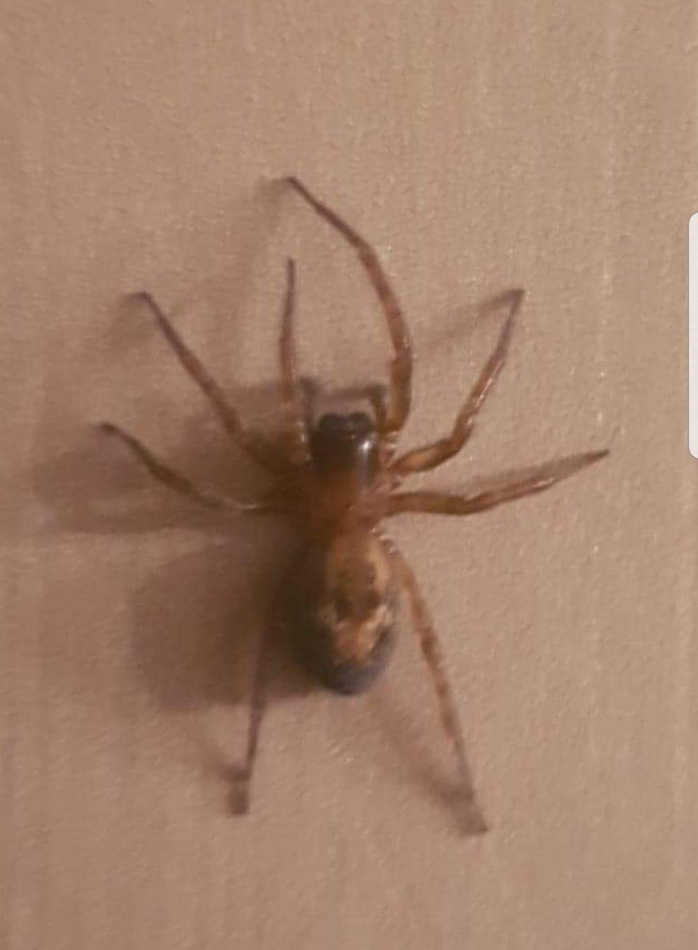 Picture of Amaurobius - Dorsal