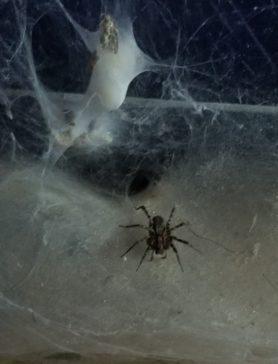 Picture of Agelenidae (Funnel Weavers) - Dorsal,Webs