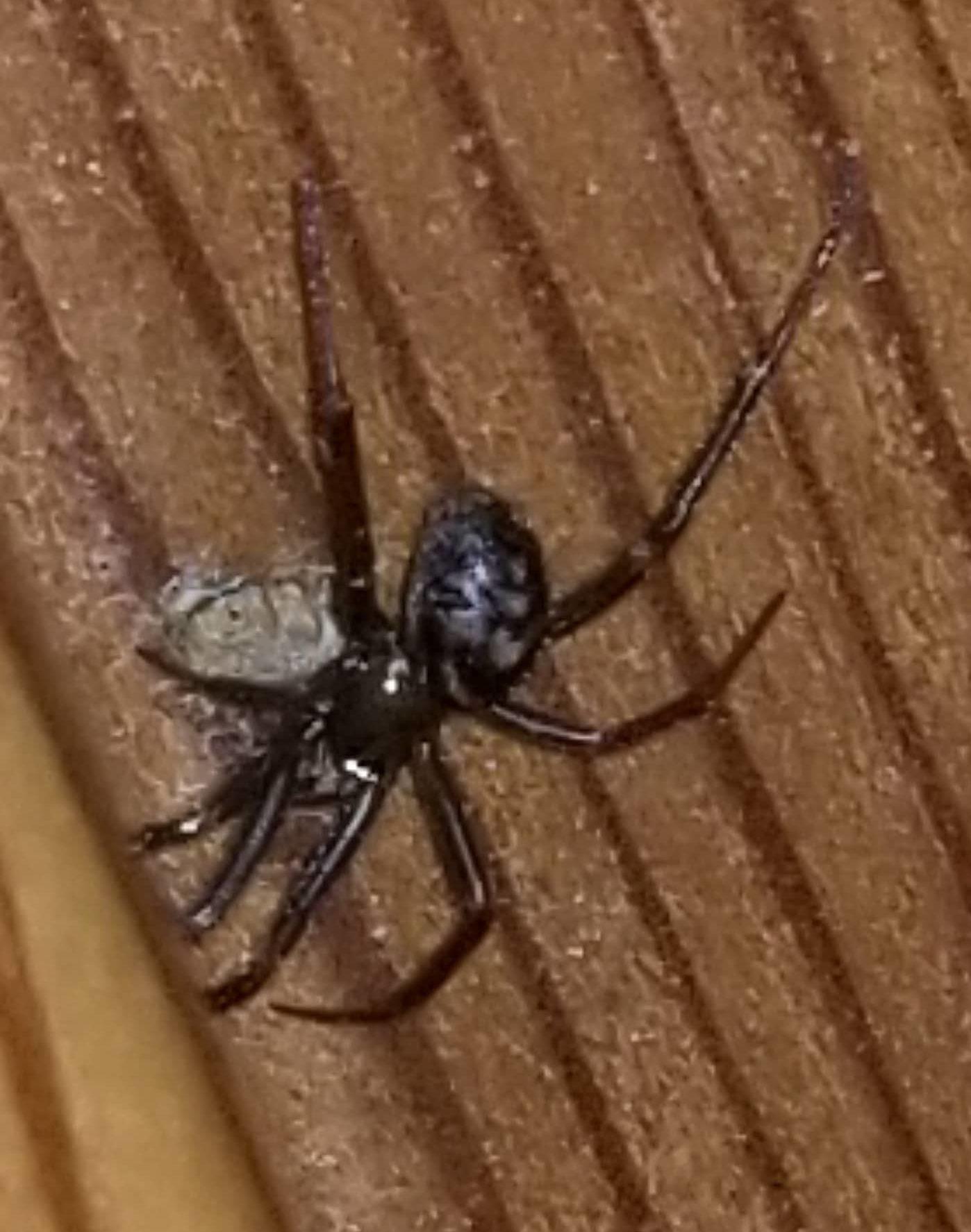 Picture of Steatoda grossa (False Black Widow) - Dorsal,Egg sacs