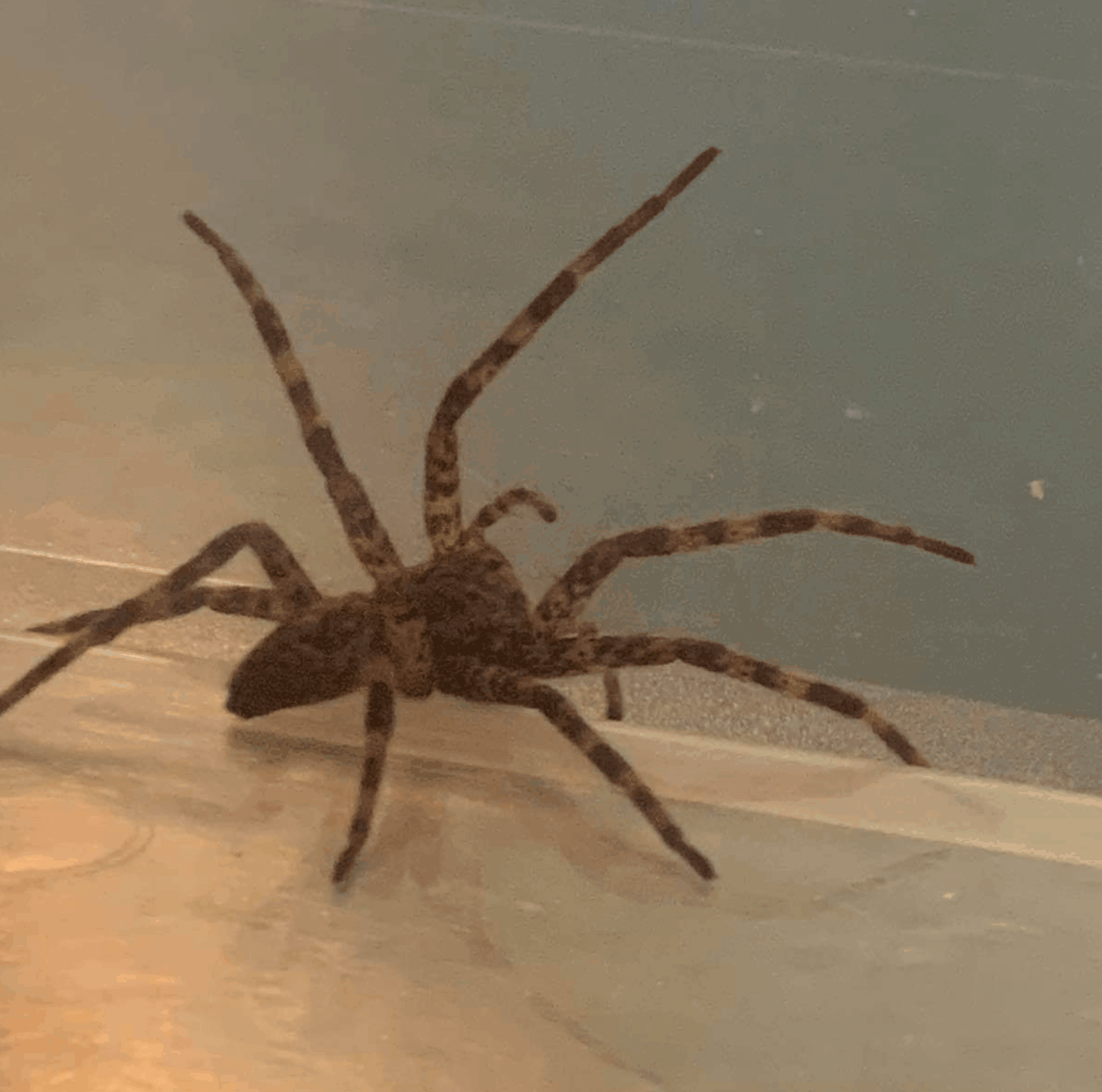Picture of Dolomedes tenebrosus (Dark Fishing Spider) - Lateral