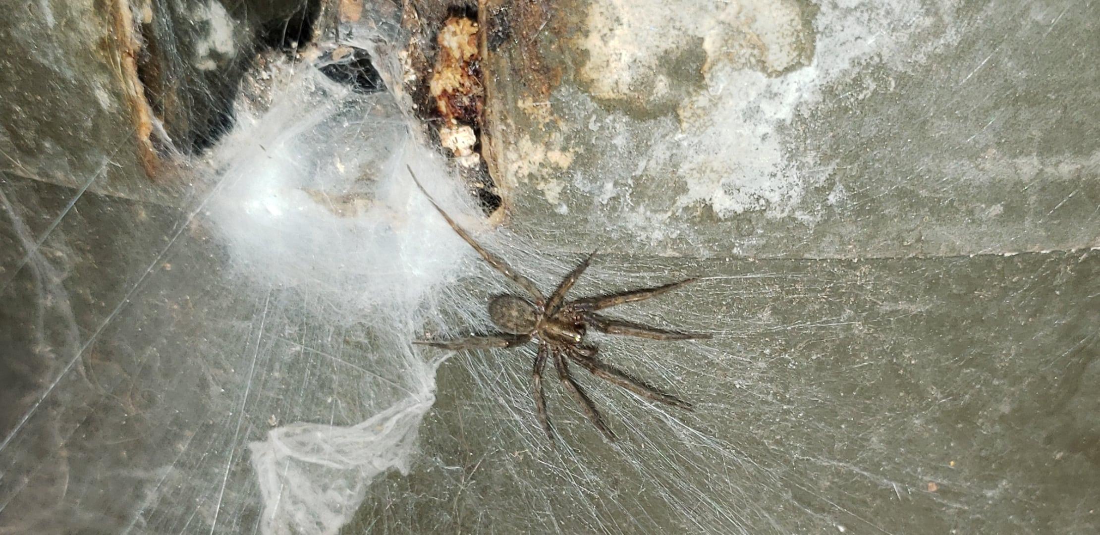 Picture of Tegenaria domestica (Barn Funnel Weaver) - Dorsal,Webs