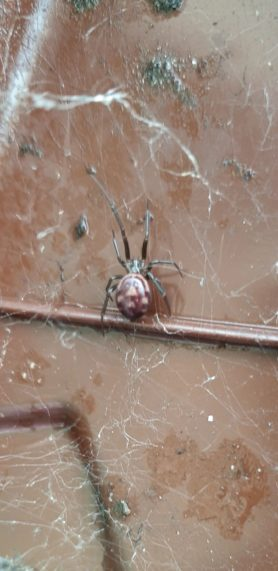 Picture of Steatoda grossa (False Black Widow) - Dorsal,Webs