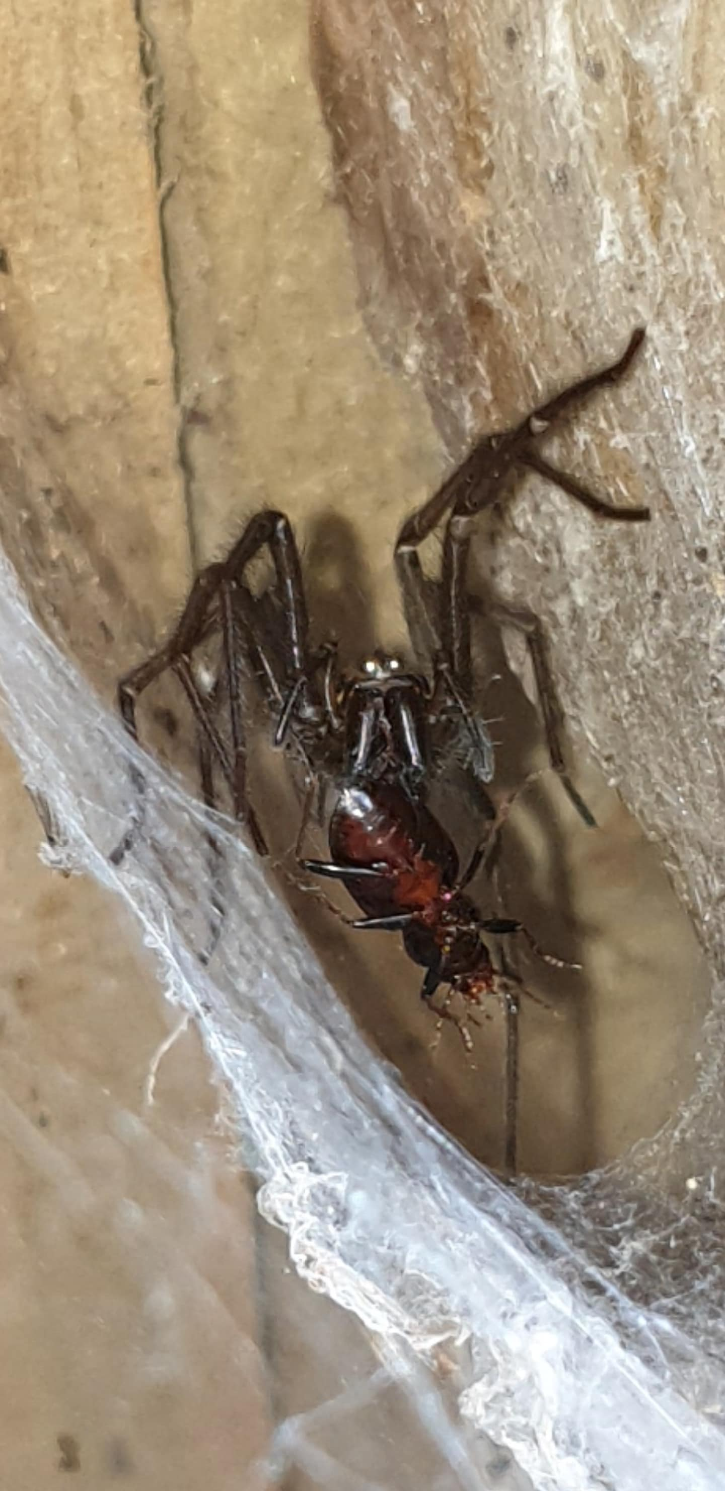 Picture of Eratigena - Eyes,Webs,Prey