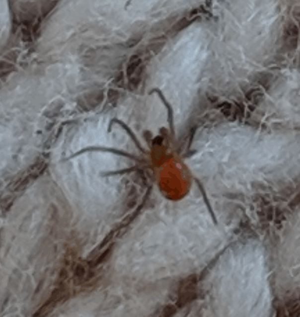 Picture of Linyphiidae (Money Spiders) - Male - Dorsal